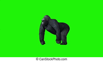 gorilla goes - green screen