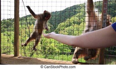 Kyoto monkey feeding - feeding Japanese macaque inside...
