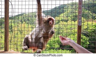 funny Japanese monkey - Funny Japanese macaque monkey inside...