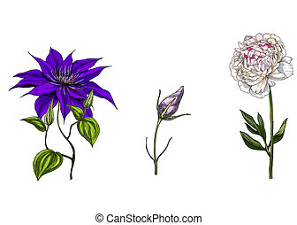 Set with peony, clematis and bud eustoma flowers, leaves and...