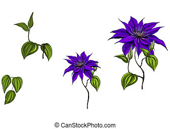Set with clematis flowers, leaves and stem isolated on white...
