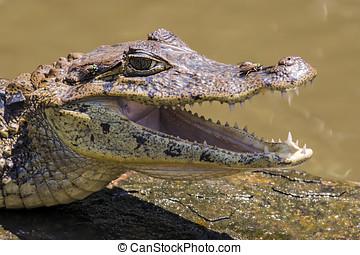 Smilling crocodile in Tortuguero - Costa Rica