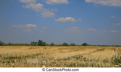 Field with chopped wheat against the blue sky with clouds