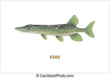 Isolated pike fish. - Isolated pike fish on white...