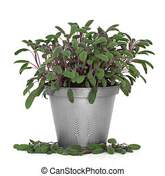 Purple Sage Herb Plant