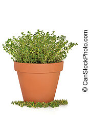 Thyme Herb Plant - Golden thyme herb plant in a terracotta...
