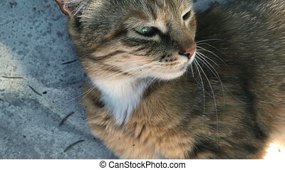 beautiful fluffy cat with green eyes lay on the street in...