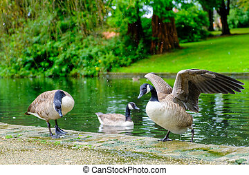 Three Canada Geese in a pond - Three Canada geese with one...