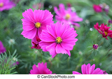 Nature background with pink Cosmos flowers - Beautiful...