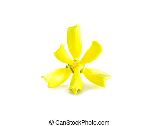 Artabotrys siamensis flower. - Artabotrys siamensis flower...