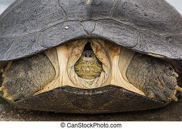 Head Turtle inside shell