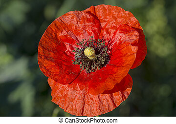 Flower of red poppy in a field of poppies. Wildflowers, close up