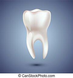 Realistic teeth anatomy illustration.