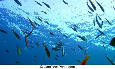 Red sea fusilier caesio suevica large school. Red Sea,...