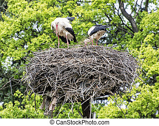 Family of White stork in the nest, bird watching - Family of...