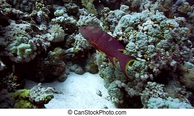 Grouper fish swimming in the water Red Sea Egypt