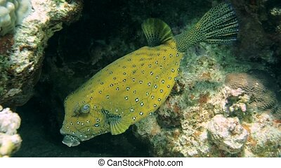 Blackspotted puffer Arothron nigropunctatus - Blackspotted...