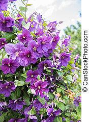 Flowering bush klimatis - bush blooming klimatis in the sky