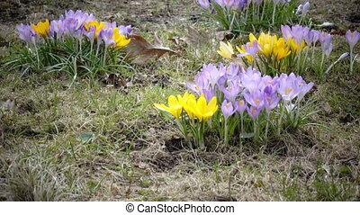 Crocus on a glade in sunny spring day,