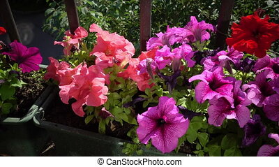 Flowers of Petunia grow in a box on a balcony in sunny day,