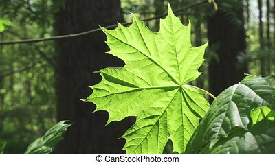 Green leaf of a maple the lit with a bright sun, close up,
