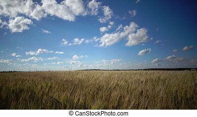 Summer landscape, the field of ripe wheat and the sky with...