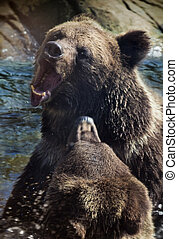 Brown Bears fighting, motion blure