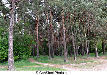 Beautiful pine forest, in the summer afternoon, Ukraine,...