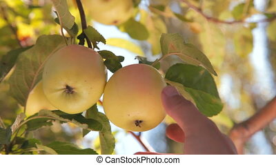Picking apples from branch - mans hand picking an apple from...