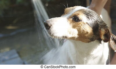 Woman bathing small dog - Woman bathing Jack Russell Terrier...