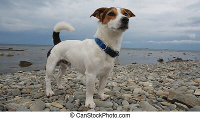Dog stands on the seashore and looks into the distance -...