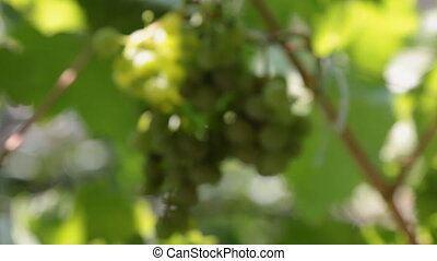 Close-up vine is swinging from the wind in the rays of the...