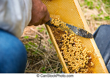 The beekeeper cuts the bad honeycomb with the drones inside