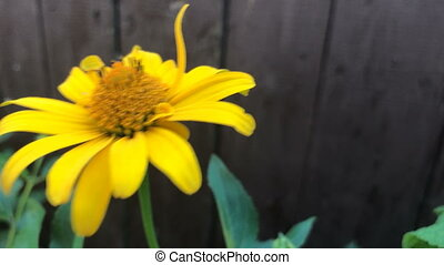 unusual yellow flower grows near wooden fence close-up