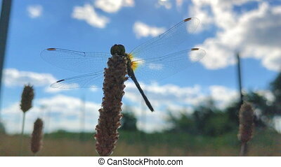 big beautiful Dragonfly with transparent wings sits on...