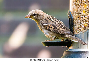 Portrait of female house sparrow, Passer domesticus, eating...