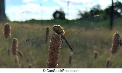 Dragonfly with large transparent wings sits in field...
