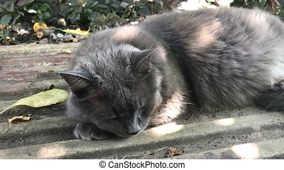 beautiful big gray cat in the summer lies on the street in...
