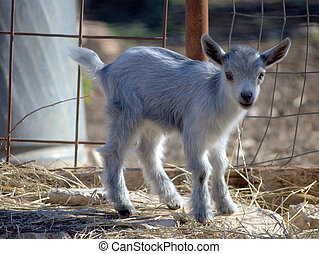 animal baby - young gray kid goat standing in his pen.