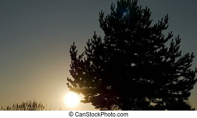big tree at sunset in silhouette standing on the sand next...