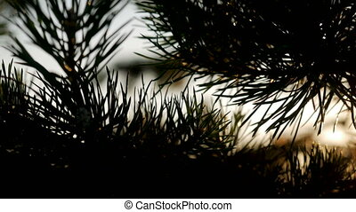 large spruce needles at sunset