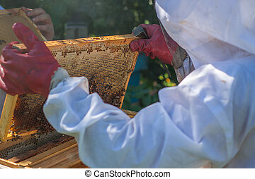 The beekeeper holds a beehive frame in his hands