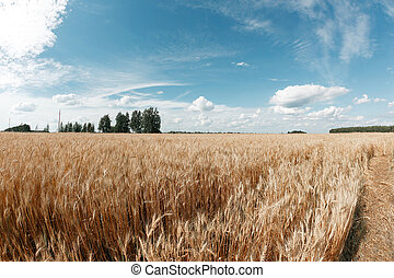 Gold wheat field and blue sky. Ripe grain harvest time