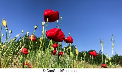 Blossoming red poppies against the blue sky, bottom view,...