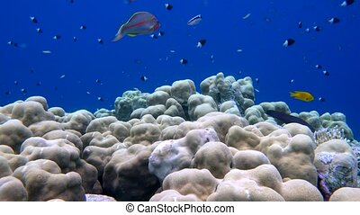school of fish Sea goldie Pseudanthias squamipinnis and...