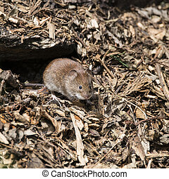 Bank vole rodent Myodes Glareoleus in decaying tree stump in...