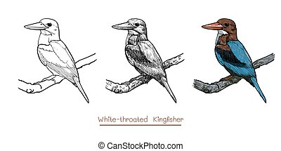 Drawing of White-throated Kingfisher bird hold on twig...