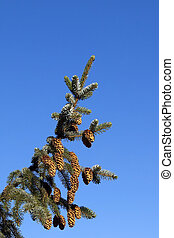 sitka spruce with blue sky - a branch of sitka spruce picea...
