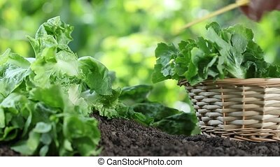 Hands picking lettuce with basket, plant in vegetable...