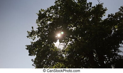 Tree Crown Against Blue Sky with Sunlight - Tree crown...